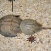 Horseshoe Crab Molucca Crab Sand  - NadineDoerle / Pixabay