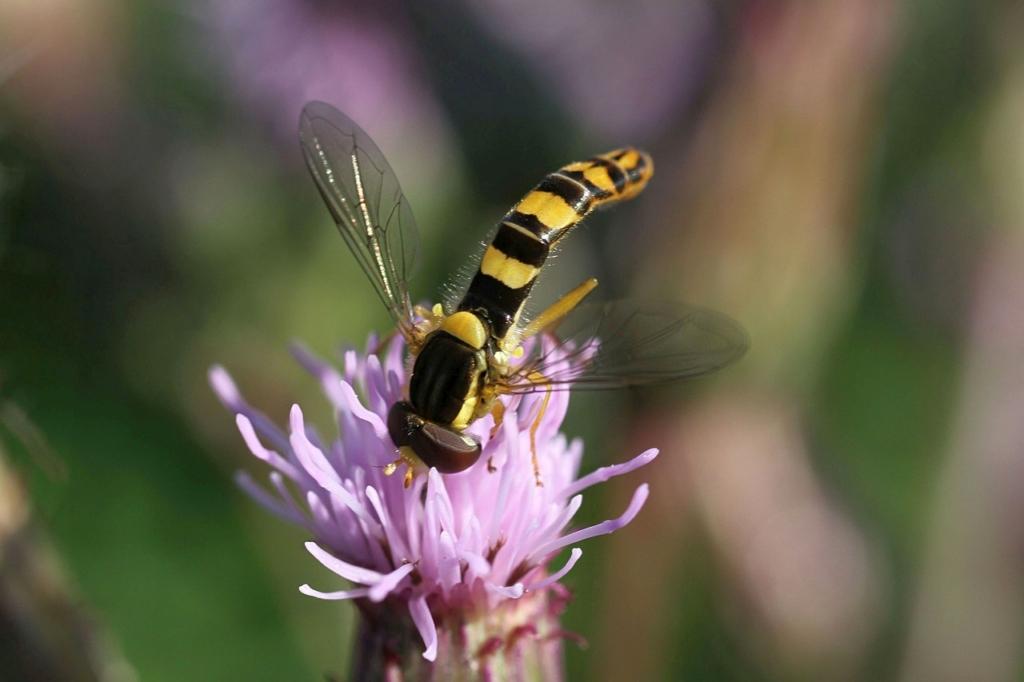 Hoverfly Flower Fly Pollination  - Uschi_Du / Pixabay