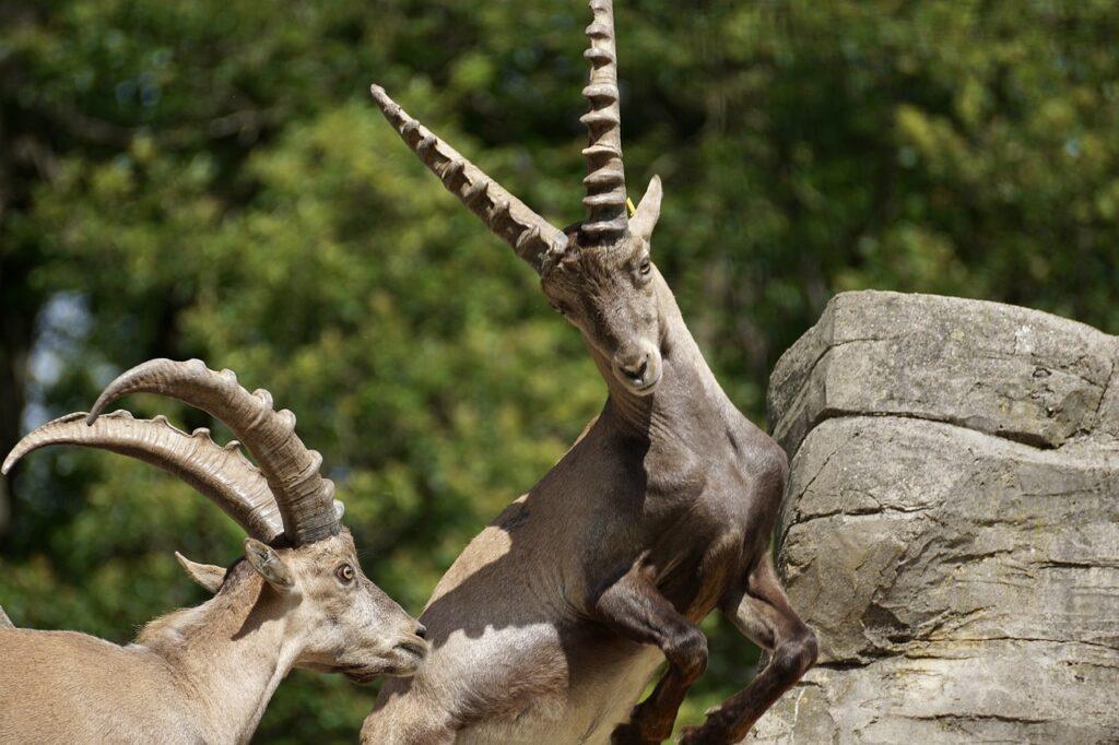 Ibex Male Horned Mammal Nature  - suju / Pixabay