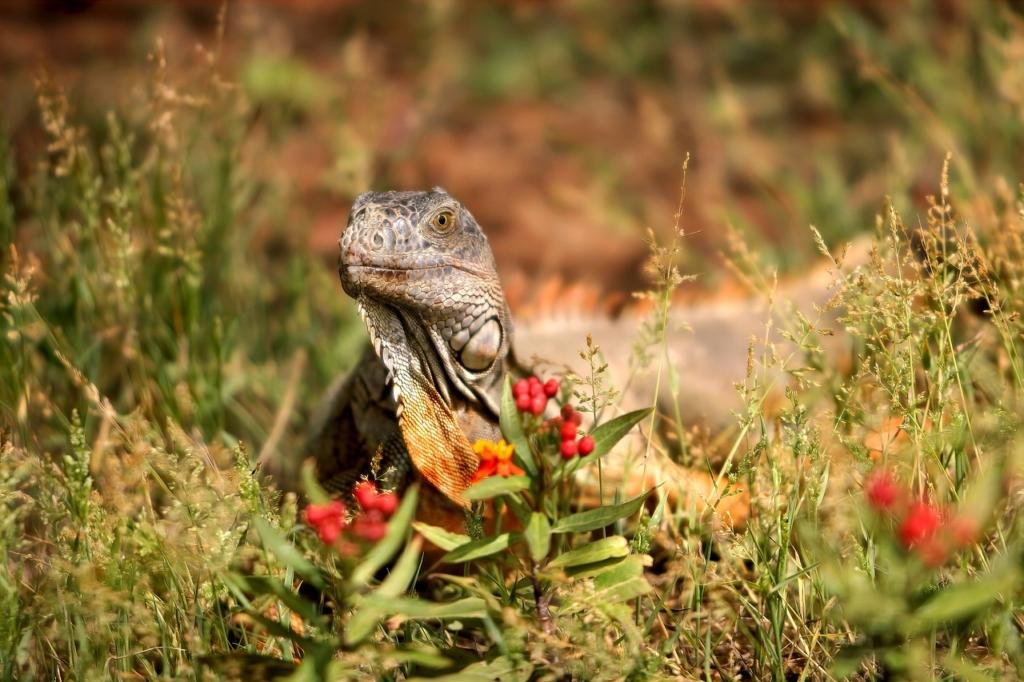 Iguana Reptile Lizard Scaly Meadow  - Sekau67 / Pixabay