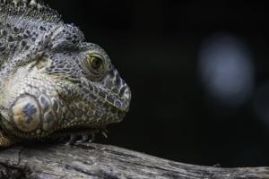 Iguana Reptile Scaly Dragon Scales  - Anilsharma_26 / Pixabay