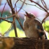 Jay Young Bird Beg Songbird  - Nennieinszweidrei / Pixabay