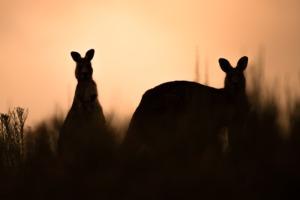 Kangaroo Eastern Grey Kangaroo  - pen_ash / Pixabay