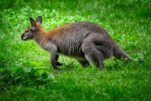 Kangaroo Marsupial Mammal Jump  - fietzfotos / Pixabay