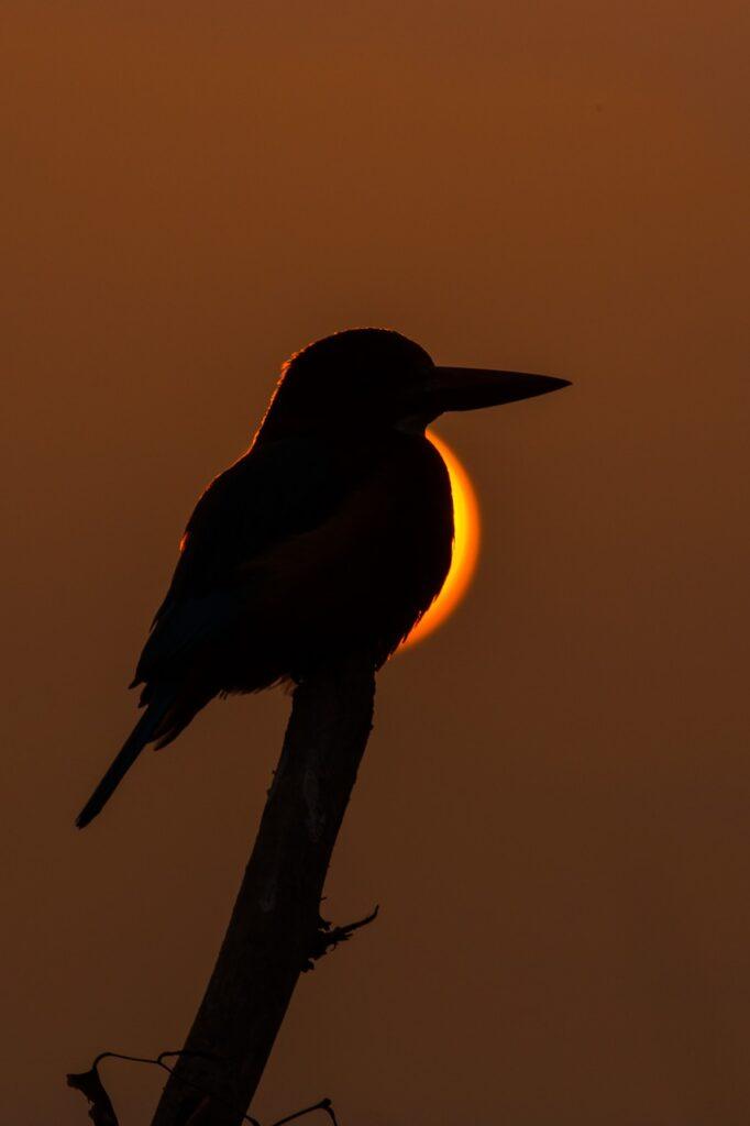 Kingfisher Silhouette Eclipse  - muditbhatnagar26 / Pixabay