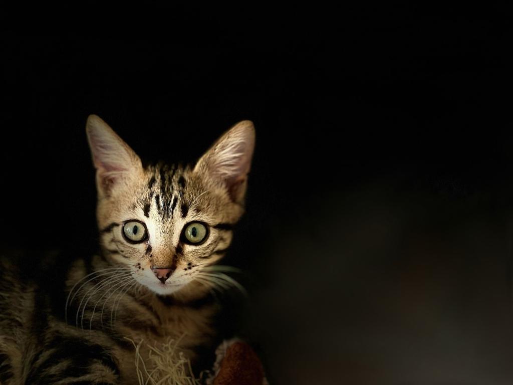 Kitten Pet Feline Animals Cat  - ykaiavu / Pixabay