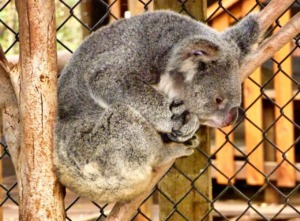 Koala Koala Bear Zoo Australia  - MemoryCatcher / Pixabay