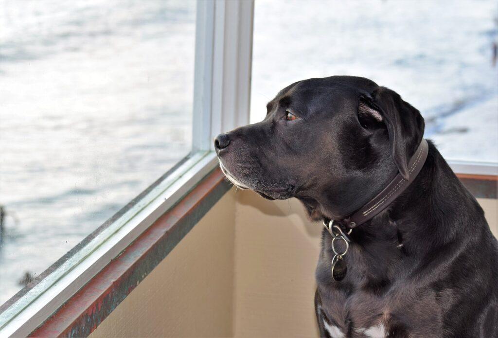 Lab Dog Retriever Canine Adorable  - RevsReels / Pixabay