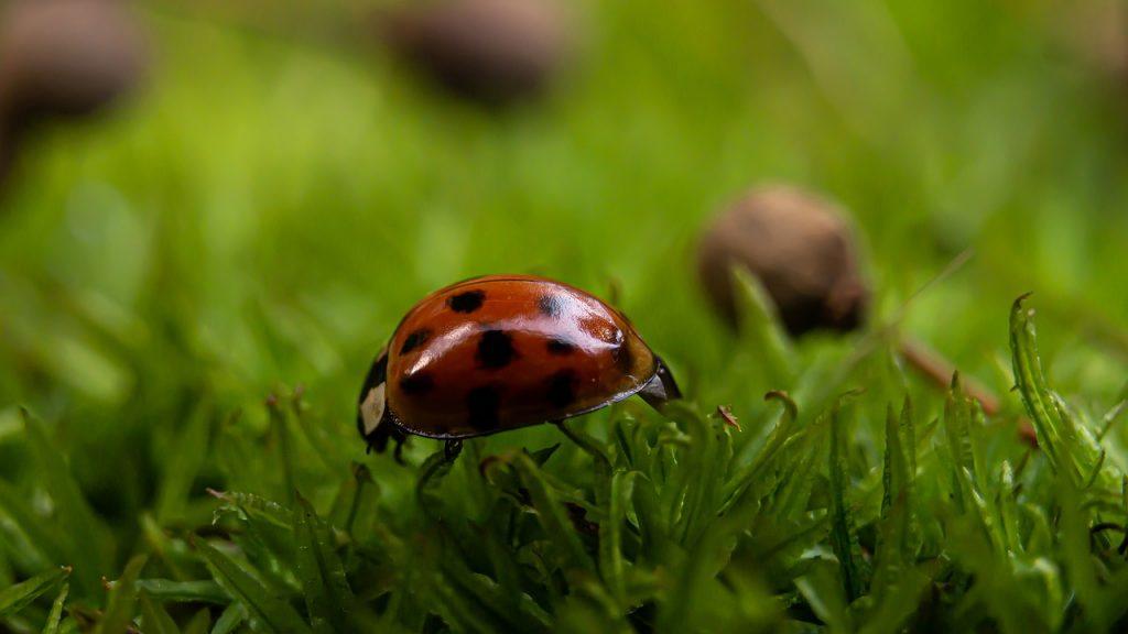Ladybug Beetle Macro Photography  - gasiviki / Pixabay