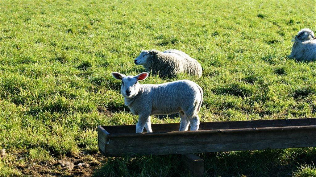 Lamb Nationwide Pasture Nature  - FotoRieth / Pixabay