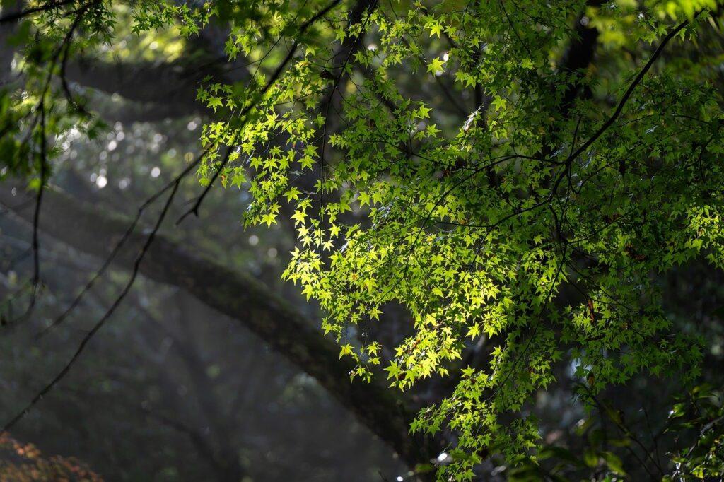 Landscape The Woods Acer Amoenum  - KANENORI / Pixabay