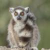 Lemur Ring Tailed Lemur Primate  - PuaBar / Pixabay