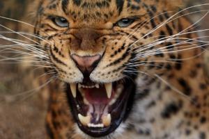 Leopard Animal Mammal Predator  - kmisikova / Pixabay