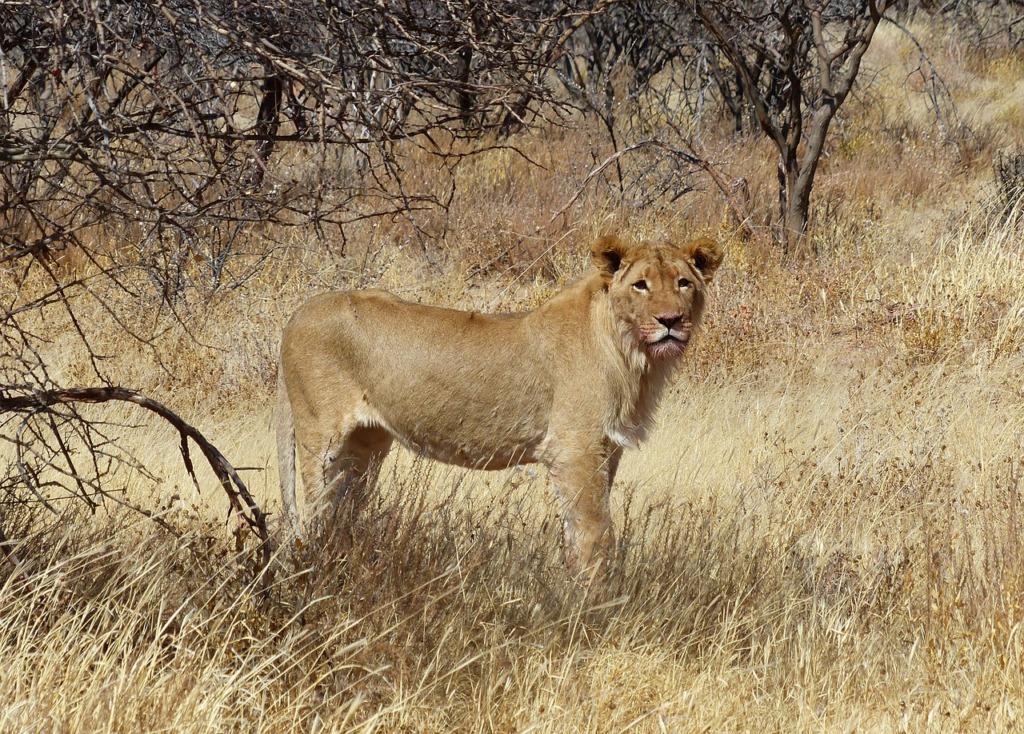 Lion Animal Mammal Predator  - fransoopatrick / Pixabay