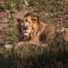 Lion Feline Whiskers Fur  - YK333 / Pixabay