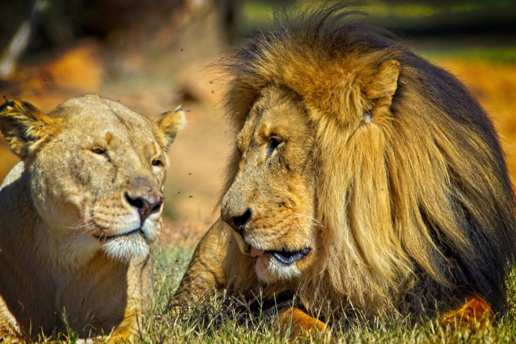 Lion King Lioness Predators Mane  - StephenAntonio / Pixabay