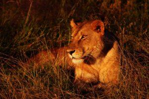 Lioness Lying Down Big Cat Wild Cat  - MarkétaŠlehoferová / Pixabay