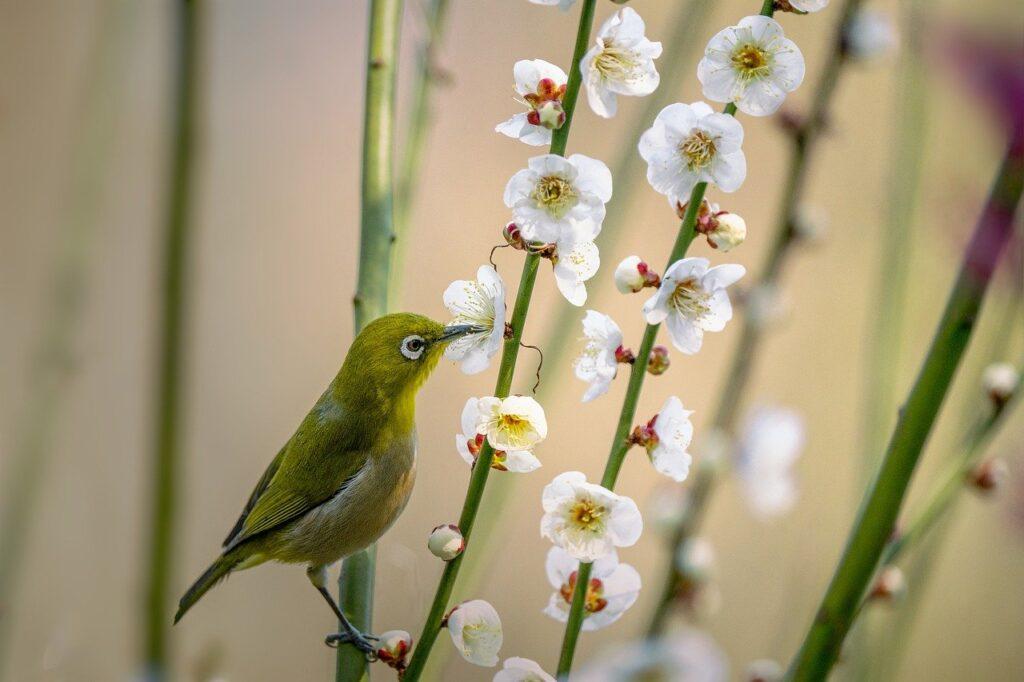 Little Bird Japanese White Eye  - Kanenori / Pixabay