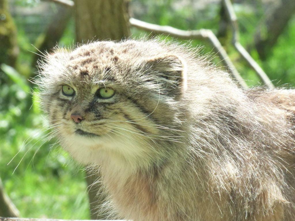 Manul Feline Park Felines Nesles  - chrysda / Pixabay