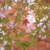 Maple Leaves Fall Autumn Foliage  - lapisbleue / Pixabay