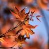 Maple Maple Leaves Autumn Leaves  - ilyessuti / Pixabay