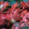 Maple Maple Leaves Raindrops  - ilyessuti / Pixabay