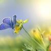 Mazarine Blue Butterfly Butterfly  - Erik_Karits / Pixabay