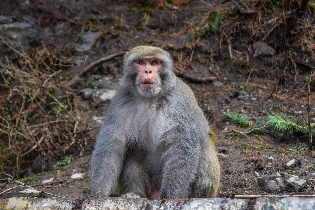 Monkey Astonished Pakistan  - ismanoor / Pixabay