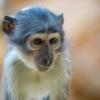 Monkey Baby Monkey Animal  - pxel_photographer / Pixabay