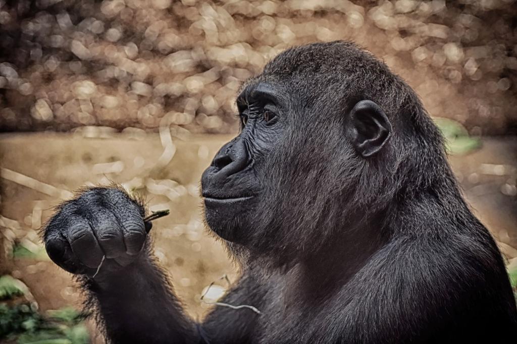 Monkey Mammal Animal Gorilla  - Alexas_Fotos / Pixabay