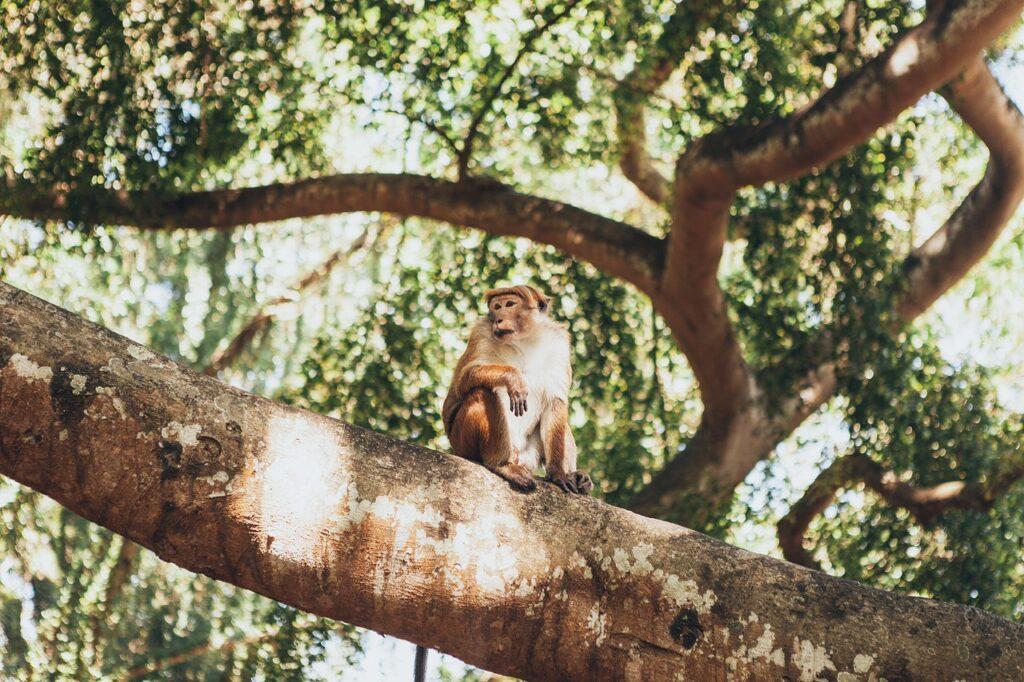 Monkey Tree Branches Primate  - nifrazdon / Pixabay