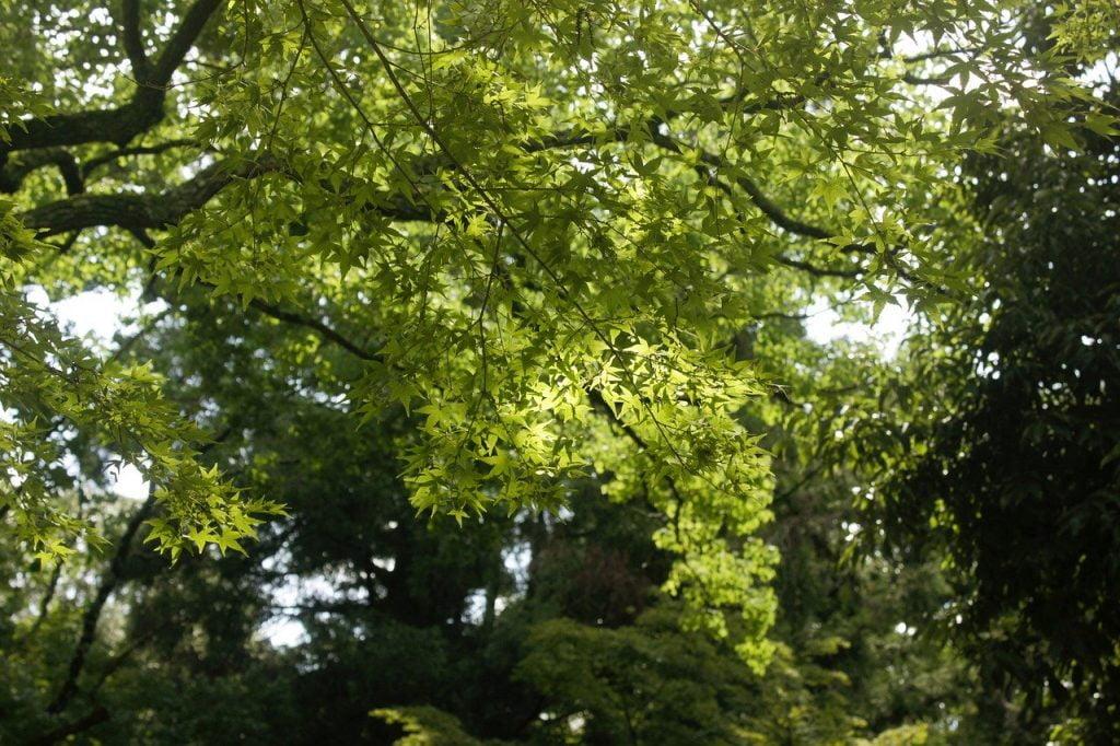 Nara Japan Leaves Green Tree  - Zlatano16 / Pixabay