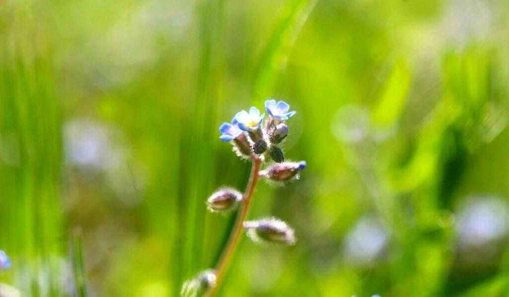 Nature Plants Flowers Minor  - gosiak1980 / Pixabay
