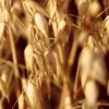Oats Grains Grain Spike Oat Field  - manfredrichter / Pixabay