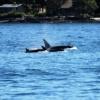 Orca Wal Killer Whale Killer Ocean  - Nature-Pix / Pixabay
