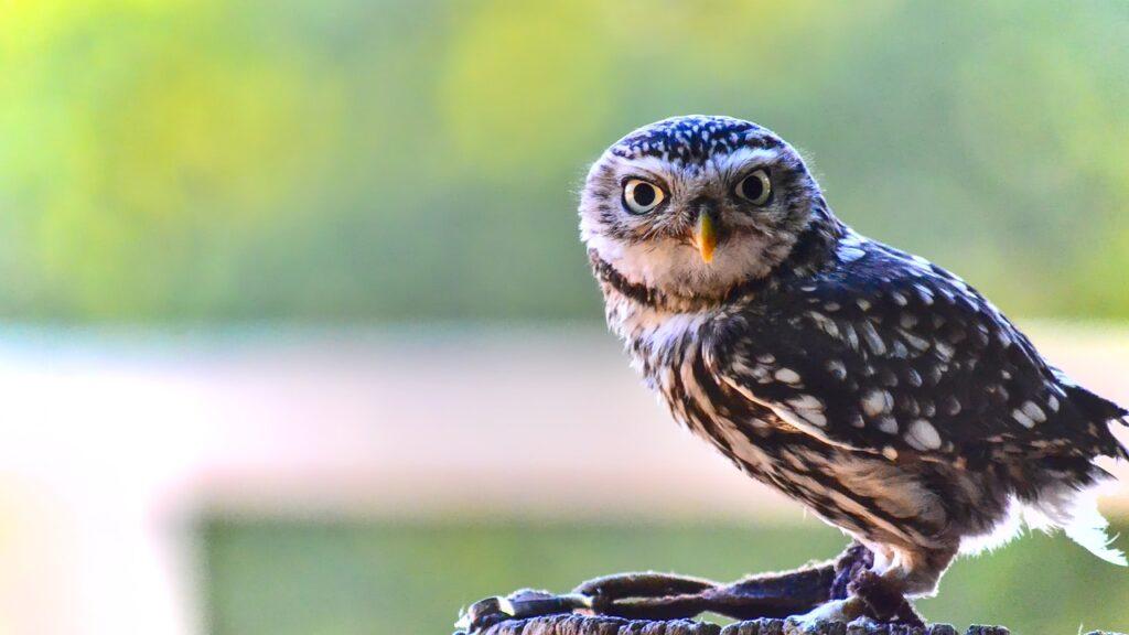 Owl Perched Bird Raptor  - michel78250 / Pixabay