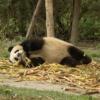 Panda Lying Down Giant Panda  - Colin_Guan / Pixabay