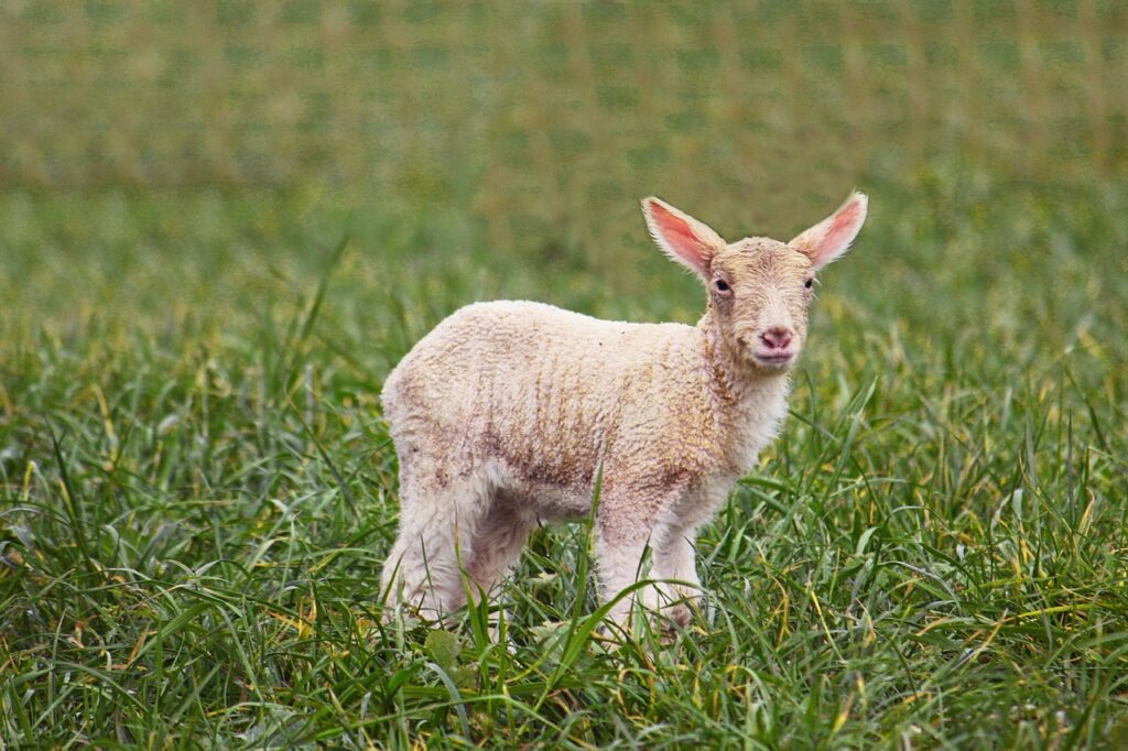 Passover Animal Sheep Easter Cute  - sphotoedit / Pixabay