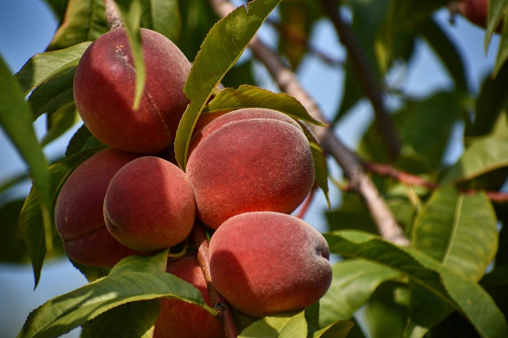 Peach Tree Fruit Mature Garden  - Frantisek_Krejci / Pixabay