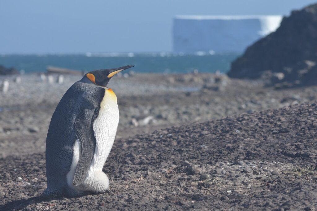 Penguin Bird Coast Aquatic Bird  - Edu_Ruiz / Pixabay