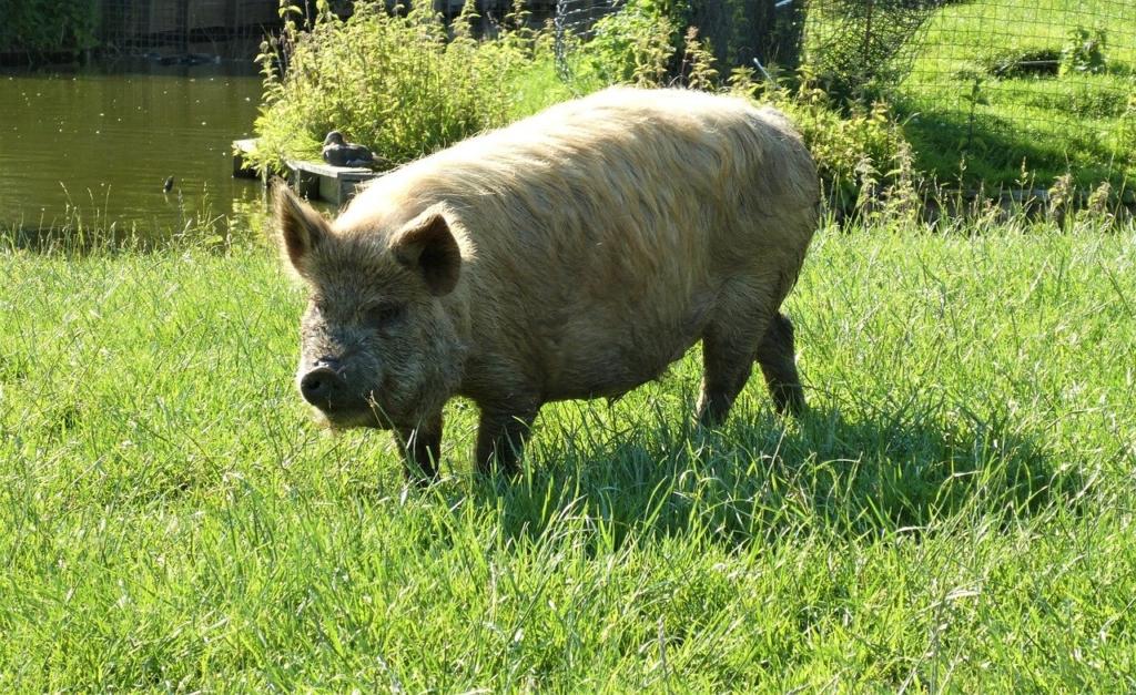 Pig Kunekune Animal Mammal Grass  - Elsemargriet / Pixabay