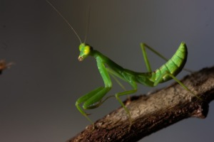 Praying Mantis Insect Mantis Green  - Canis24 / Pixabay