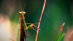 Praying Mantis Mantodea Insect  - BlenderTimer / Pixabay