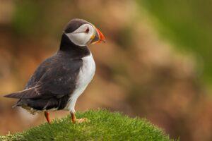 Puffin Bird Nature Birds Animals  - KonradJanik / Pixabay