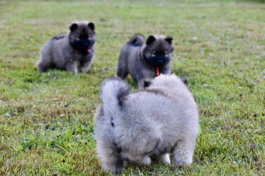 Puppies Young Dogs Puppies On Grass  - JACLOU-DL / Pixabay