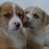 Puppy Dog Animal Pet Cute Canine  - karencolebudzar / Pixabay