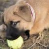 Puppy Dog Biting German Shepherd  - DaModernDaVinci / Pixabay