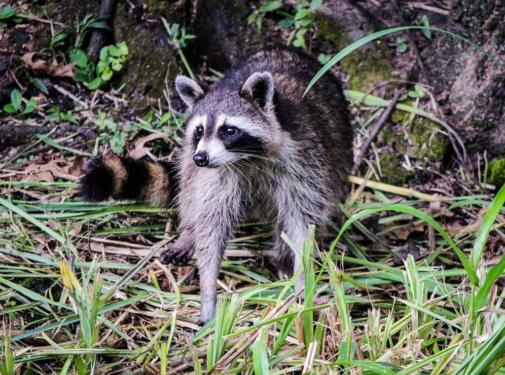 Raccoon Coon North American Raccoon  - JamesDeMers / Pixabay