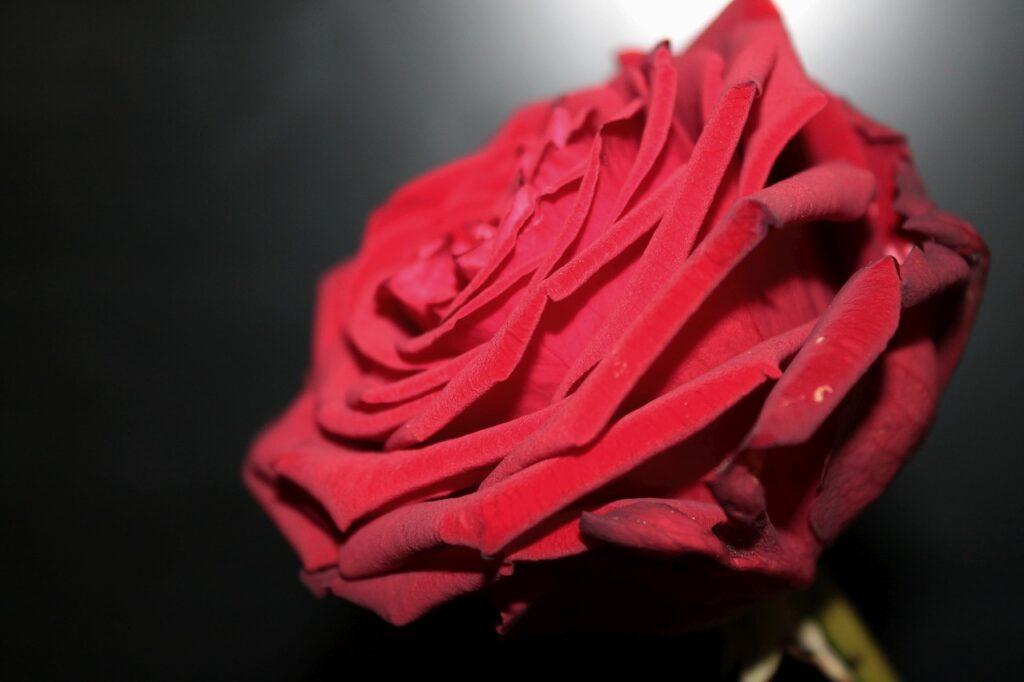 Red Naomi Rose Red Blossom Bloom  - Jamie92 / Pixabay