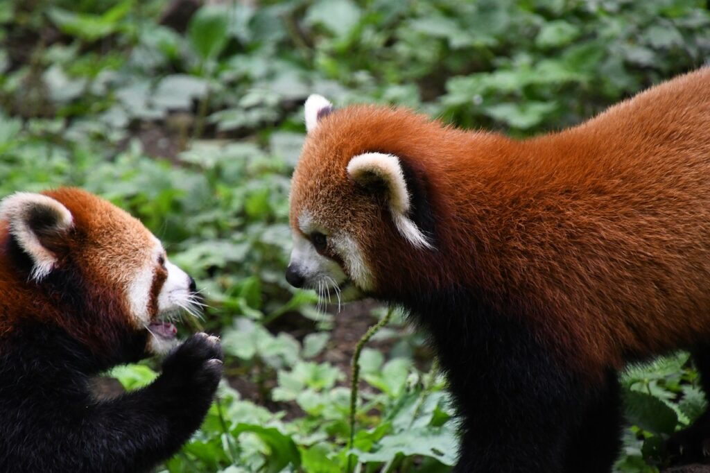 Redpanda Animal Zoo Brother Play  - chacha8080 / Pixabay